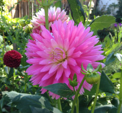 Growing Dahlias from Tubers