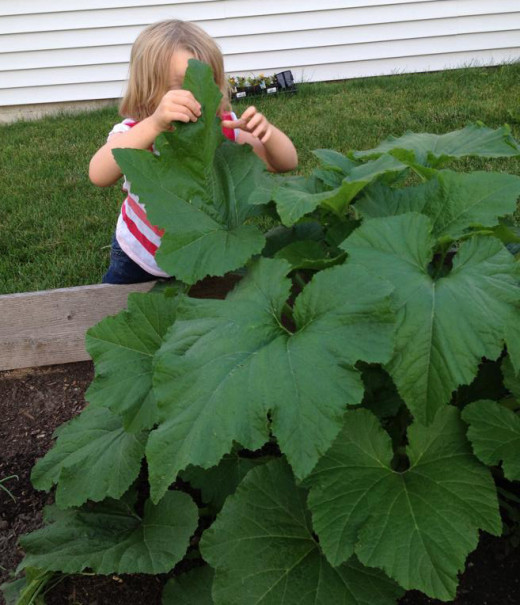 Our crookneck squash plant in the late spring