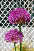 Fall Planted Bulbs - Alliums