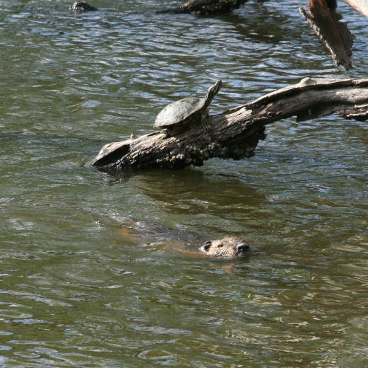 Turtles sunning themselves as a nutria swims by