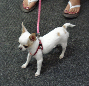 Melody is a two-pound, five-month old Chihuahua being fitted for a harness at our shop.