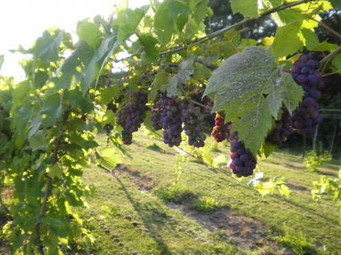Netted grapes have a better chance of being healthy and surviving.