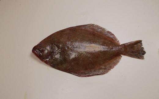 Southern FlounderSouthern Flounder Habitat