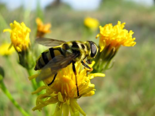 Honey bee in yellow dandelion flower