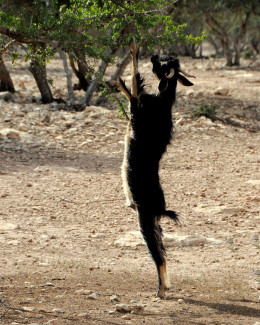 The argan fruit is a favorite among goats.