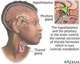 How the Thyroid Gland communicates with the brain