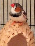 How to Help a Bird With a Broken Leg -- Splinting a Fracture in a Finch or Canary