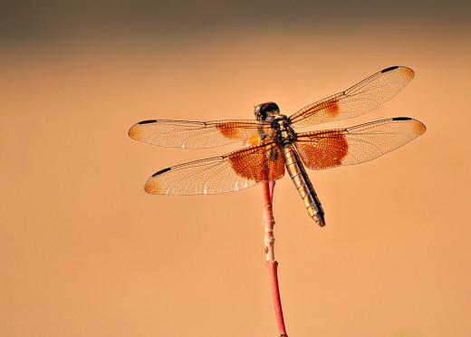 Female Widow Skimmer Photo by Bron Praslicka