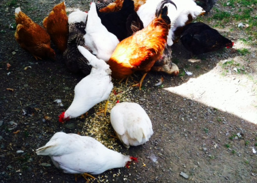 Some of my chickens enjoying a treat! I have a mixed flock of chickens with different breeds.