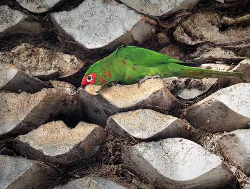 This parrot actually lives up north, but is one of the kinds that we see here in San Diego, too.