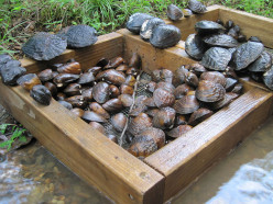 Endangered Species: Freshwater Mussels in Alabama USA