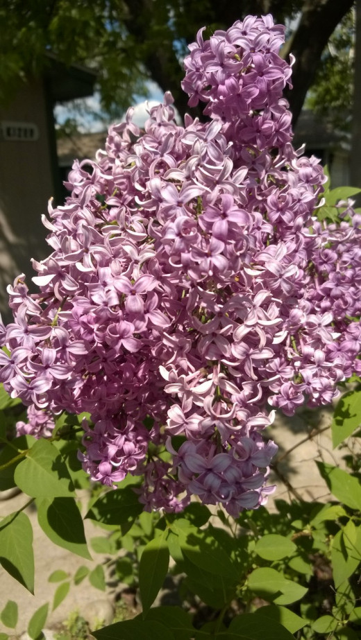 This year's lilacs, growing near my back door for good luck.