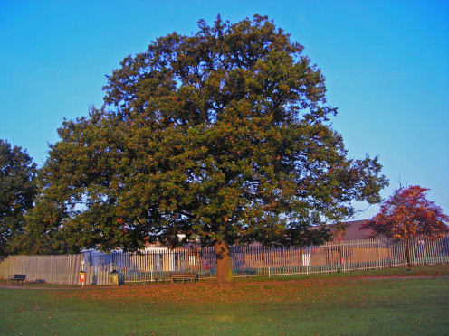 A semi-mature oak tree in Autumn