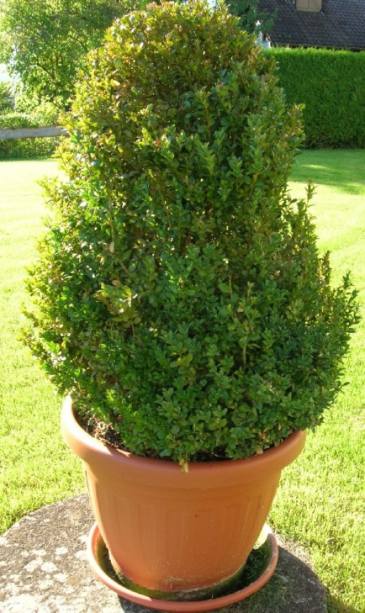Box can be kept low clipped into shape and make a good ornamental evergreen structure.