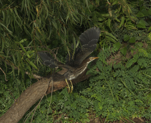 Green Heron Juvenile in Flight