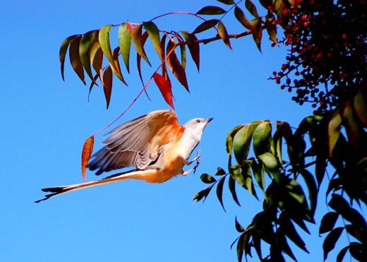 Scissor-tailed Flycatcher photo by Bron Praslicka