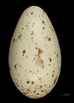 Egg of a brolga