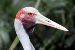 Brolgas or Australian Cranes