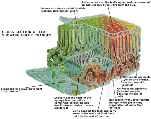 Cross-section of leaf during color change