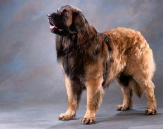 Leonberger - Fully Grown Leonberger Attack