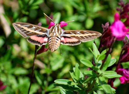 White-lined Sphinx moth photo by Bron Praslicka