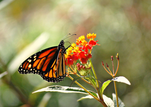 Monarch butterfly photo by Bron Praslicka