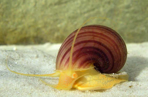 Pomacea diffusa, the spike-topped apple snail. Copyright Stijn Ghesquiere,  licensed under the Creative Commons Attribution-Share Alike 3.0 Unported license.