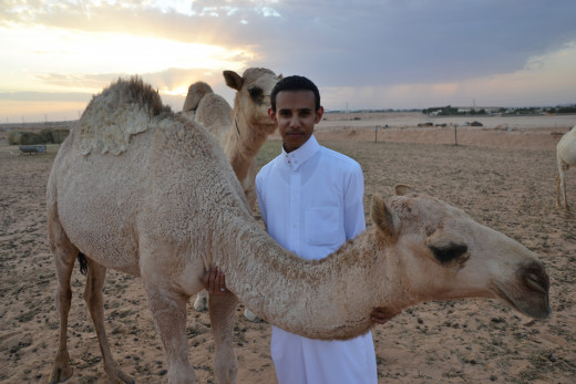 A Saudi Citizen With Camels