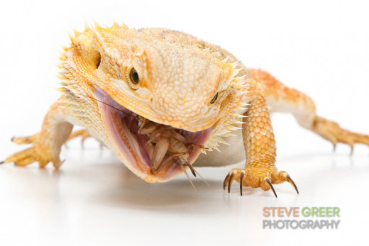 Bearded Dragon chomping on a cricket.
