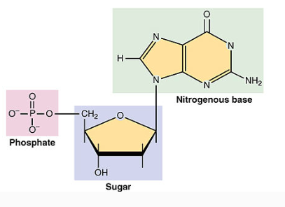 Nucleotides are simple organic molecules consisting of a nitrogenous base, a 5 carbon sugar and 1-3 phosphate groups.
