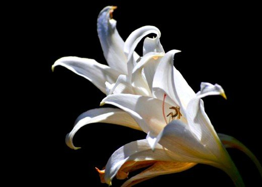 White Lilies photo by Bron Praslicka