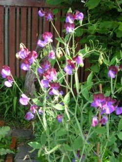 Sweetpeas in my garden