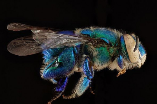 Euglossa-viridissima, by the USGS Native Bee Inventory and Monitoring Laboratory, licensed under CC BY 2.0