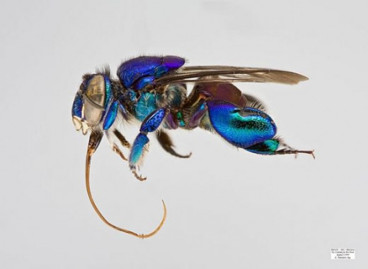 Euglossa analis male. The copyright holder of this file, Laurence Packer, allows anyone to use it for any purpose, provided that the copyright holder is properly attributed. Redistribution, derivative work, commercial use, and all other use is permit