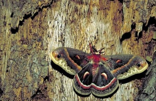 Cecropia moth (Hyaolophora cecropia), by Thomas G. Barnes, U.S. Fish and Wildlife Service, public domain