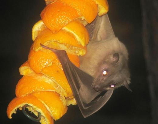 Bat decoration?