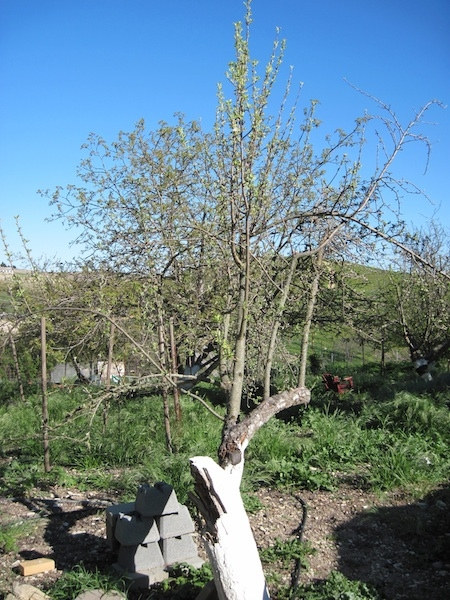 Damaged apple tree still leafing out this year.