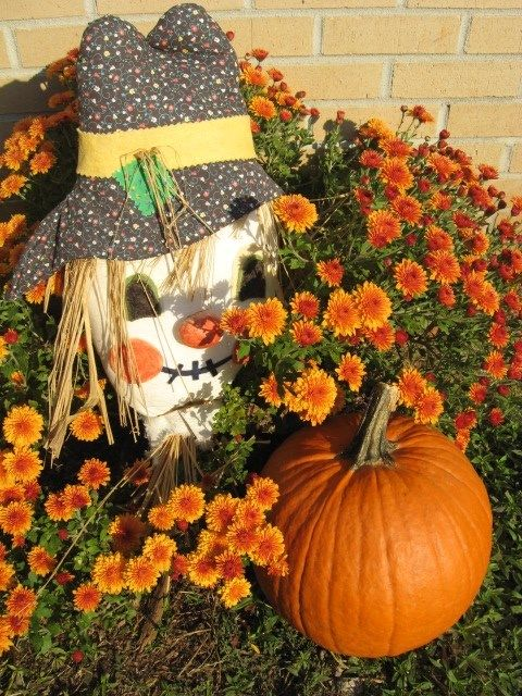 These golden orange Chrysanthemums have been coming back every year for several years now and I love to put a pumpkin right next to them. The Scarecrow in this picture goes on the front door but he decided to nestle among the flowers and pumpkin this