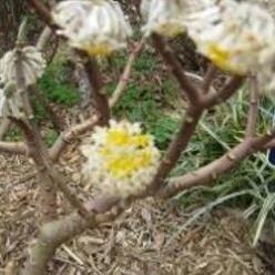 Edgeworthia Chrysantha or Chinese Paper Bush