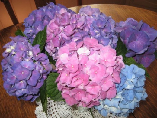 colorful hydrangea blossoms I don't think I have ever seen an ugly Hydrangea Blossom. Have you? I do enjoy all of the varieties but my favorite is still the big blue blossoms. We used to have several of these bushes that would be full of blooms but o