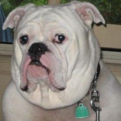 Meet Bruno the Third, Our Bulldog