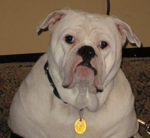 bruno the bulldog at 9 mo