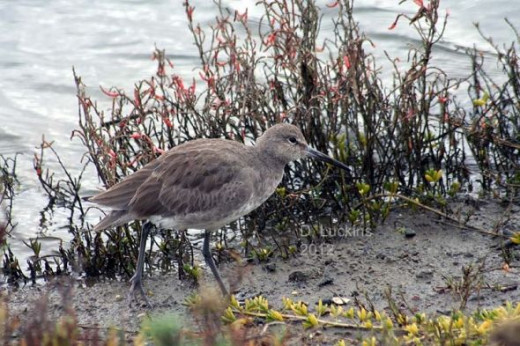 Willet in camoflauge