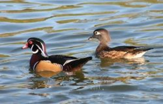 Young wood duck pair.