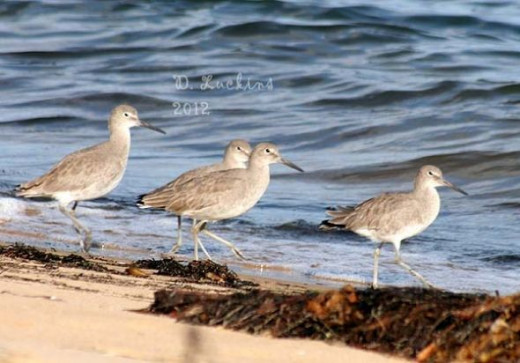 Willets!