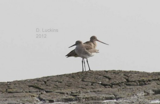 Willet and Godwit