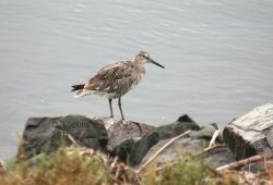 Willet on rocks