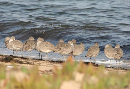 Willets flocking together.