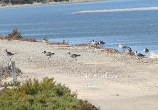Willets on a berm in the San Diego south bay.