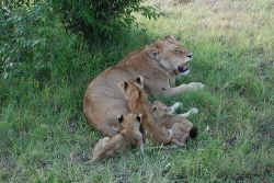 Lioness with cubs, Source: Imagin Extra via Flickr